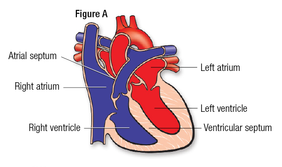 Medical Illustration of Heart - Figure A